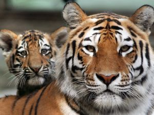 You probably had no idea how easy it is to buy a tiger.