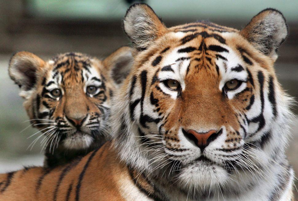 America Has a Tiger Problem