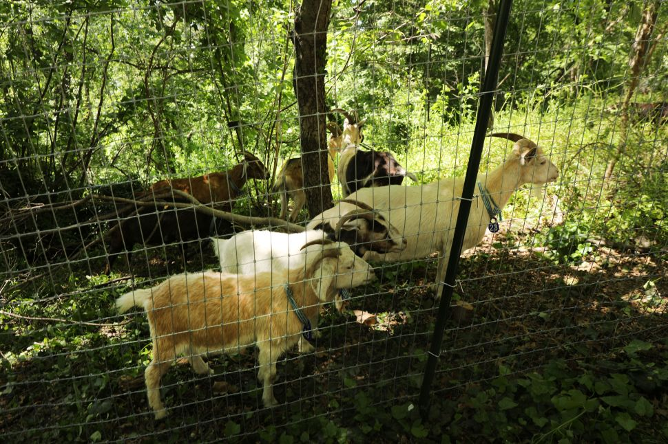This Summer's Best First-Date Idea? Chillin' With Goats in Riverside Park.
