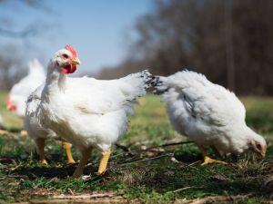 Cooks Venture Chicken Startup