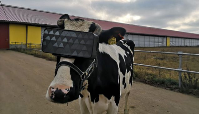 Experts (in cow anxiety) noted a reduced anxiety and improved emotional mood in the herd that was adorned in VR goggles.