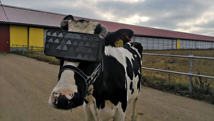 Why VR Headsets on Russian Cows Are Nothing to Moo About