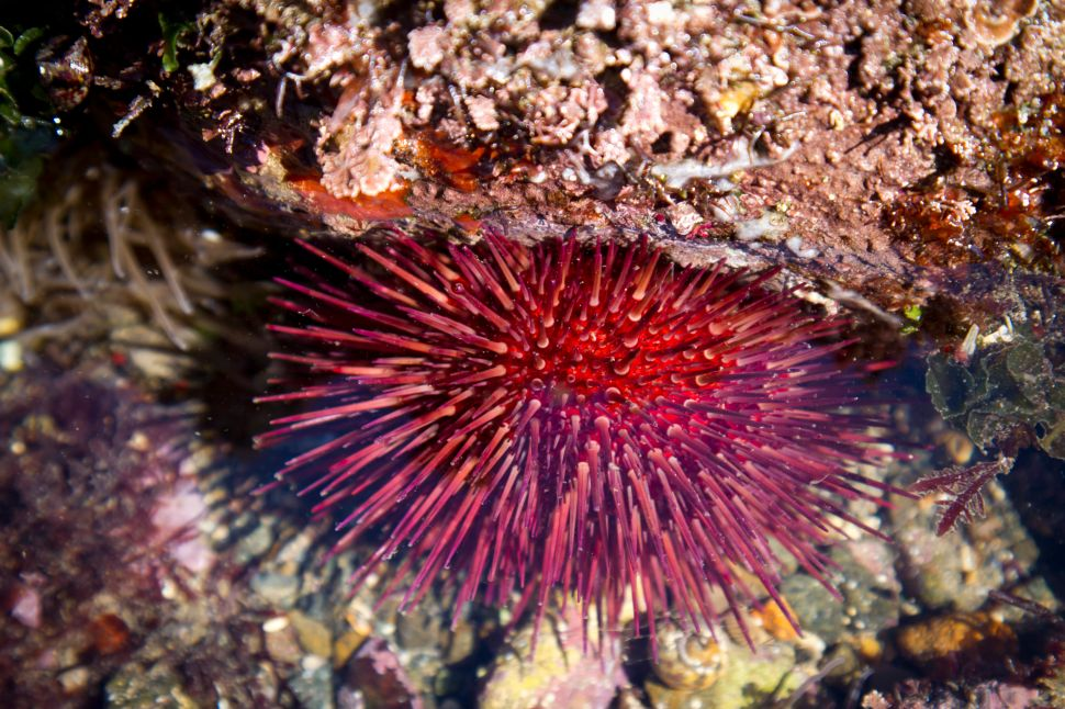 How Sea Urchin Poop Could Fight Climate Change