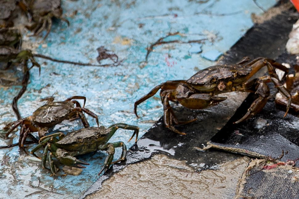 Invasive, Ecosystem-Destroying Green Crabs Could Make Bio-Friendly Plastic
