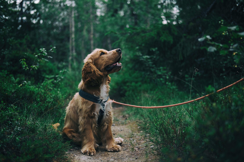 english-cocker-spaniel-puppy-sitting-on-ground-beside-grass-1254140
