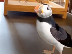 A puffin you can play with in Olafur Eliasson's Wunderkammer Project