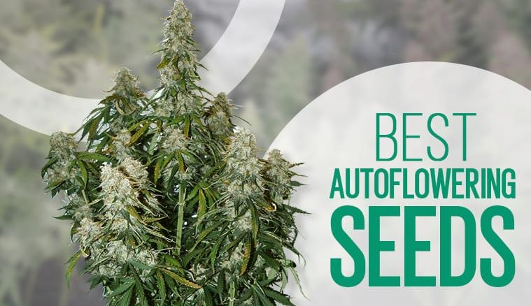 10 Best Autoflower Seeds: Cannabis Seeds That are Easy to Grow and Have  High Yields | Observer
