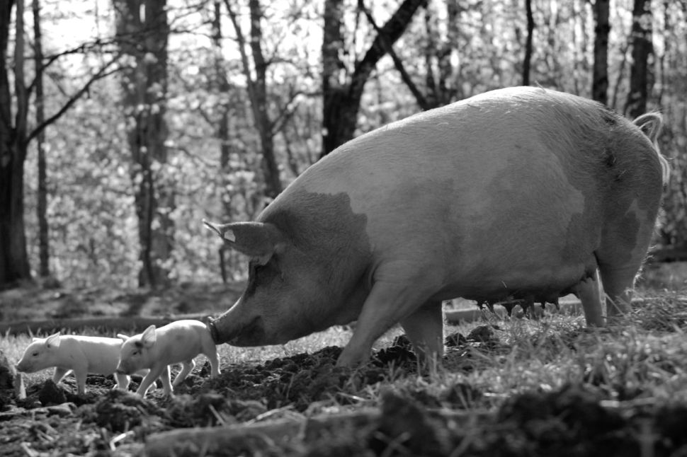 'Gunda' Uses Striking Imagery to Humanize Animals in Captivity